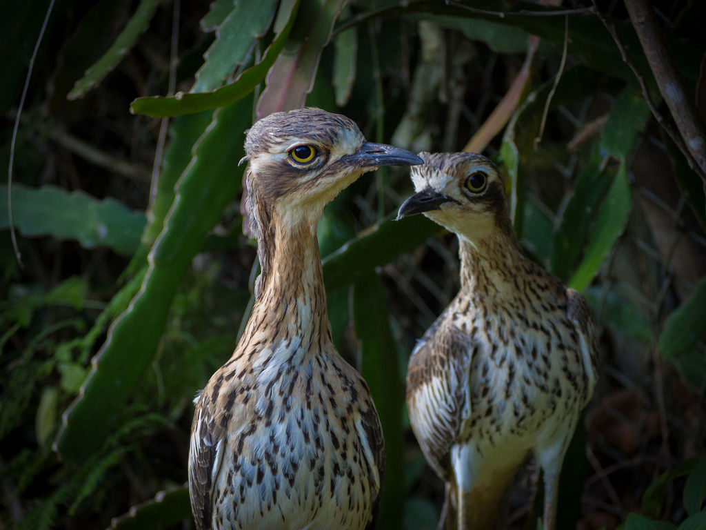 Curlews-28-May-2017.jpg