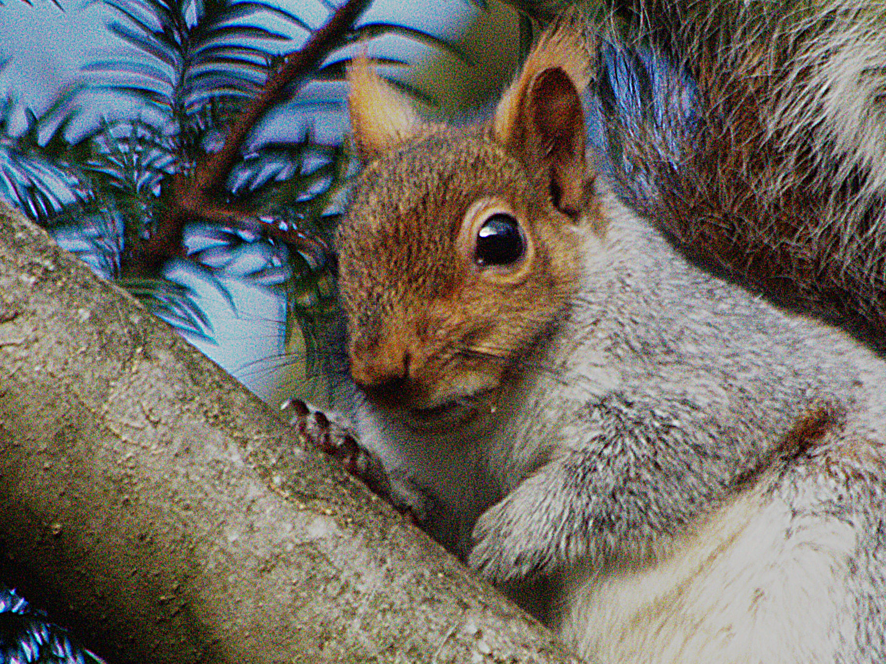 Gray squirrel.jpg