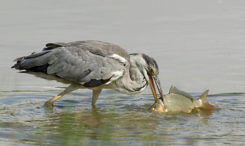 Grey Heron and lunch