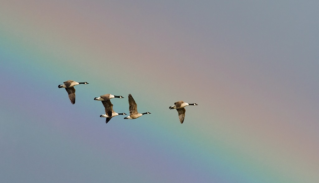 Canada Geese through rainbow
